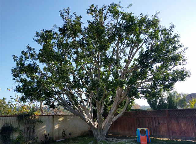 Tree Trimming Services San Clemente