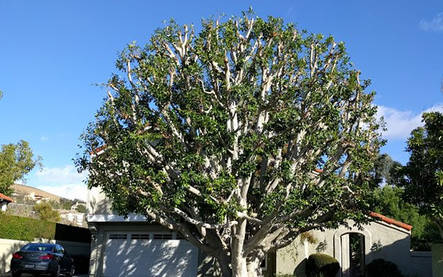 San Clemente Tree Trimming Contractor