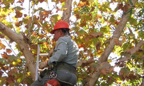 Tree Trimming/Pruning San Clemente